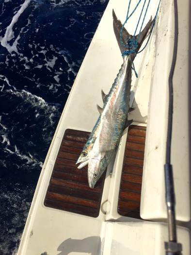 Two Kingfish caught 30-minutes out from St. Thomas
